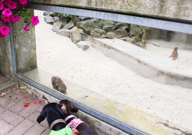 Zoo_der_Minis_Aue-mangusten-1